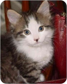 Domestic Mediumhair Kitten for adoption in Medina, Ohio - Ali