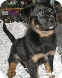 Shepherd (Unknown Type) Mix Puppy for adoption in Mt. Prospect, Illinois - Pilgrim