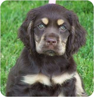 Cocker Spaniel Puppy for adoption in Milford, New Jersey - Reese