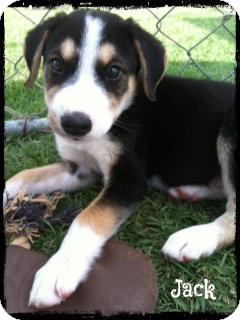 Labrador Retriever/Shepherd (Unknown Type) Mix Puppy for adoption in Cranford, New Jersey - Lab/Shepherd Husky Mix