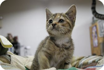 Calico Kitten for adoption in Trevose, Pennsylvania - Little Lamb
