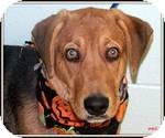Hound (Unknown Type) Mix Dog for adoption in East Hartford, Connecticut - Frazier