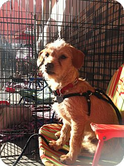 Terrier (Unknown Type, Small) Mix Puppy for adoption in North Hollywood, California - Kirby