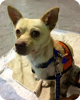 Chihuahua Mix Dog for adoption in Medford, New Jersey - Foxy Mario