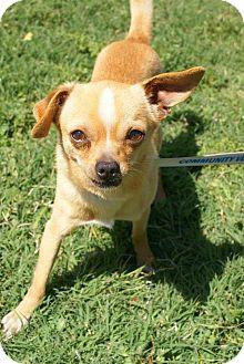 Chihuahua Mix Dog for adoption in Yuba City, California - 04/06 Lance