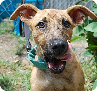 Hound (Unknown Type)/Plott Hound Mix Dog for adoption in Bradenton, Florida - Roll