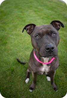 American Pit Bull Terrier/Pit Bull Terrier Mix Dog for adoption in Portland, Oregon - Lexi