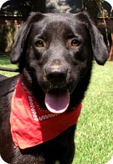Labrador Retriever Mix Dog for adoption in Baton Rouge, Louisiana - Buster