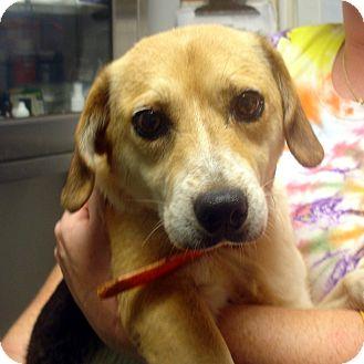 Beagle Mix Dog for adoption in Greencastle, North Carolina - Petunia
