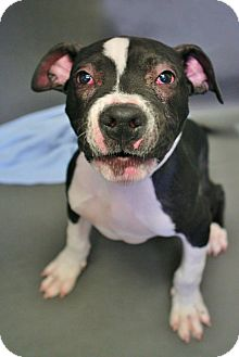 Pit Bull Terrier/Labrador Retriever Mix Puppy for adoption in Sidney, Ohio - Abby