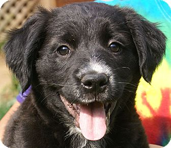 Border Collie Mix Puppy for adoption in Spring Valley, New York - Dee Dee