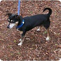 Adopt A Pet :: Sparky - Toronto/Etobicoke/GTA, ON