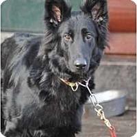 Adopt A Pet :: Sophie - Hamilton, MT