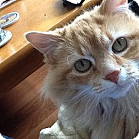 Domestic Longhair Cat for adoption in Fairfax Station, Virginia - Ginger 4