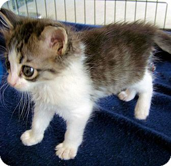 Domestic Mediumhair Kitten for adoption in Red Bluff, California - IZZY