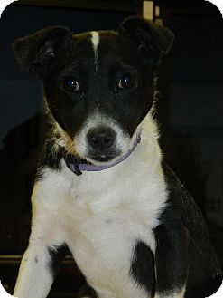 Border Collie/Jack Russell Terrier Mix Puppy for adoption in Henderson, Nevada - Hunter