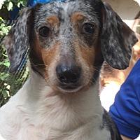 Adopt A Pet :: Tinkerbelle - Orlando, FL