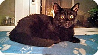 Domestic Shorthair Kitten for adoption in THORNHILL, Ontario - Jane Deer