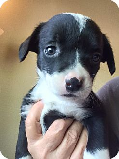 Border Collie/Australian Cattle Dog Mix Puppy for adoption in Cave Creek, Arizona - Lilly