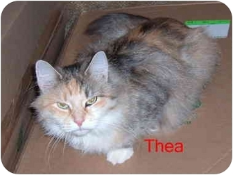 Domestic Longhair Cat for adoption in Albany, New York - Thea