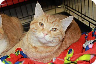 Domestic Shorthair Kitten for adoption in Jerseyville, Illinois - Pollie