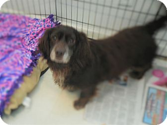 Sussex Spaniel/Basset Hound Mix Dog for adoption in Howell, Michigan - Brownie