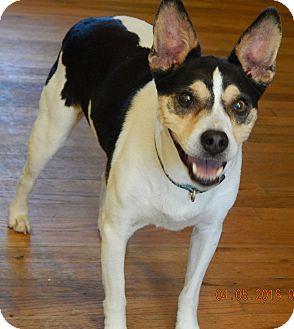 Rat Terrier/Terrier (Unknown Type, Medium) Mix Dog for adoption in Burlington, Vermont - JoJo(24 lb) New Pics & Video
