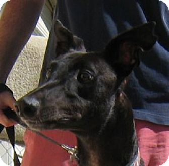 Greyhound Dog for adoption in Oak Ridge, North Carolina - Corey