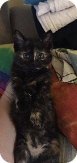 Domestic Shorthair Kitten for adoption in Washington, Pennsylvania - Susie