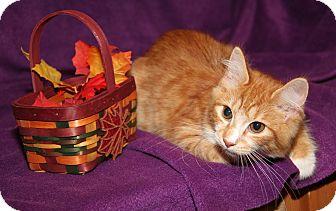 Domestic Mediumhair Cat for adoption in Marietta, Ohio - Ginger (Spayed)