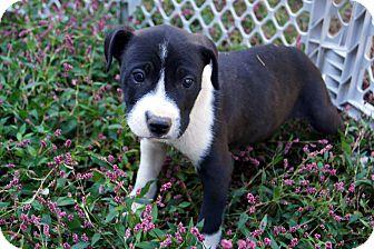 Labrador Retriever/Beagle Mix Puppy for adoption in Newark, Delaware - Axl