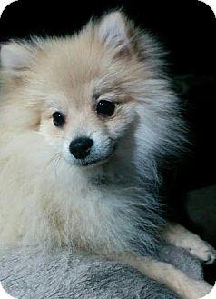 Pomeranian Mix Dog for adoption in West Allis, Wisconsin - Maximus