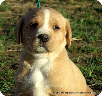 Golden Retriever/Boxer Mix Puppy for adoption in parissipany, New Jersey - Aspen