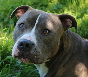 American Pit Bull Terrier Mix Dog for adoption in Sacramento, California - Sky