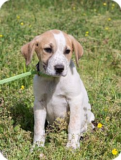 Australian Cattle Dog/Mixed Breed (Medium) Mix Puppy for adoption in Brattleboro, Vermont - Eizabeth Walton