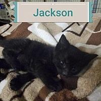 Domestic Shorthair Kitten for adoption in Rochester, New York - Jackson