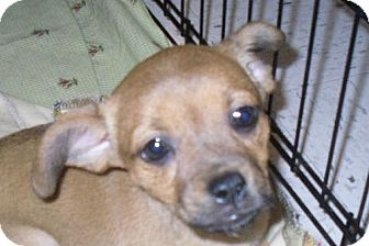 Terrier (Unknown Type, Medium) Puppy for adoption in Guthrie, Oklahoma - Tiny Dancer