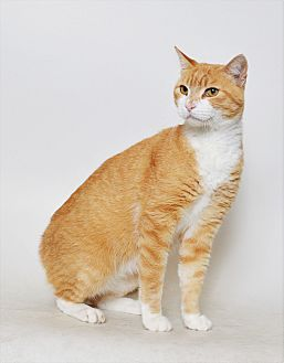Domestic Shorthair Cat for adoption in Fruit Heights, Utah - Mellow