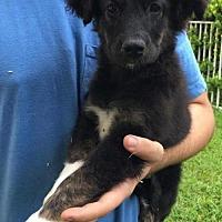 Adopt A Pet :: Otter - Bradenton, FL