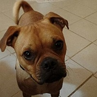 Pug Mix Dog for adoption in Ashburn, Virginia - Roo
