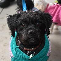 Adopt A Pet :: Rascal Norton - Seattle, WA