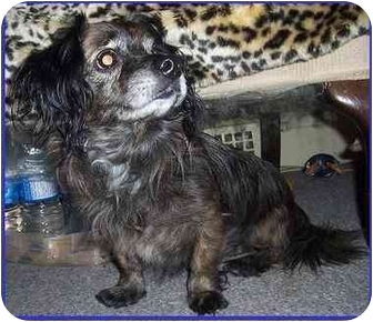 Shih Tzu/Terrier (Unknown Type, Small) Mix Dog for adoption in Hamilton, Ontario - Priscilla