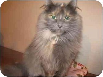 Domestic Mediumhair Cat for adoption in Xenia, Ohio - Gwen