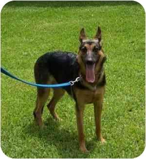German Shepherd Dog Dog for adoption in Boca Raton, Florida - Roxy