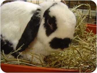 Mini Lop Mix for adoption in Edinburg, Pennsylvania - Jimmy