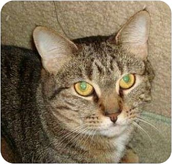 Domestic Shorthair Cat for adoption in Port Republic, Maryland - Isabell