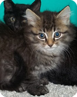 Domestic Mediumhair Kitten for adoption in Gaffney, South Carolina - Snooker