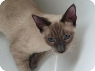 Siamese Cat for adoption in Houston, Texas - Hendrix