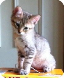 Domestic Shorthair Kitten for adoption in Flower Mound, Texas - Tigger
