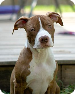 American Pit Bull Terrier Puppy for adoption in Houston, Texas - George